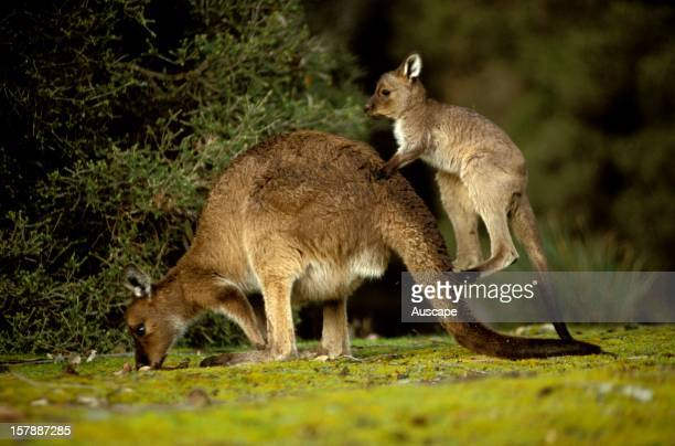 Western grey kangaroo mother and joey South Australia