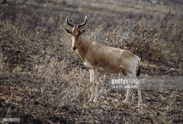 Western hartebeest Bovidae Masai Mara National Reserve Kenya Africa