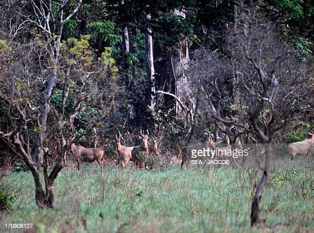 Western Hartebeest Maraoue National Park Ivory Coast