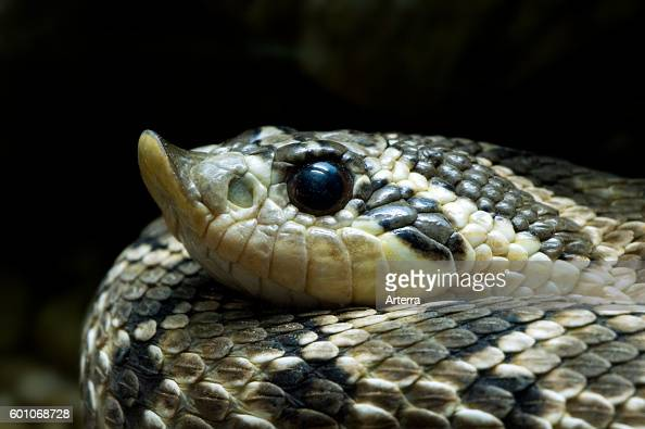 Western hognose snake / prairie hognosed snake / Texas rooter close up of head colubrid endemic to North America