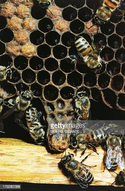 Western honey bee or European honey bee Queen cell Apidae