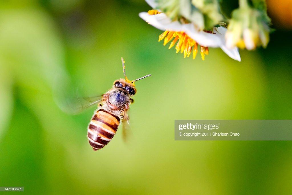 Western Honey Bee : Stock Photo