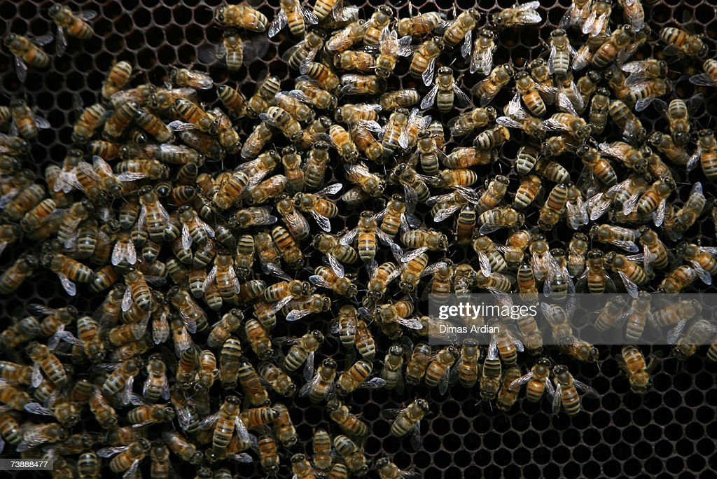 Western Honey Bees, the insects commonly used for apitherapy, are seen in a beehive at Cibubur Bee Center on April 15, 2007 in Jakarta, Indonesia. Bee acupuncture or apitherapy, is an alternative healing practice where bee stings are used as treatment for various conditions and diseases. Apitherapy, which was first practiced in China, has developed as a popular alternative healing method in Indonesia.