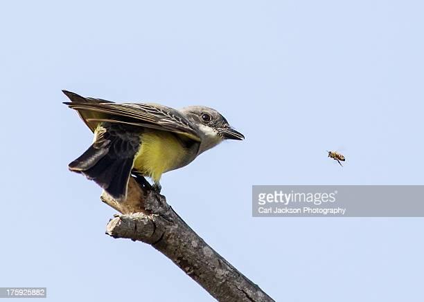 Western Kinbird watching a bee