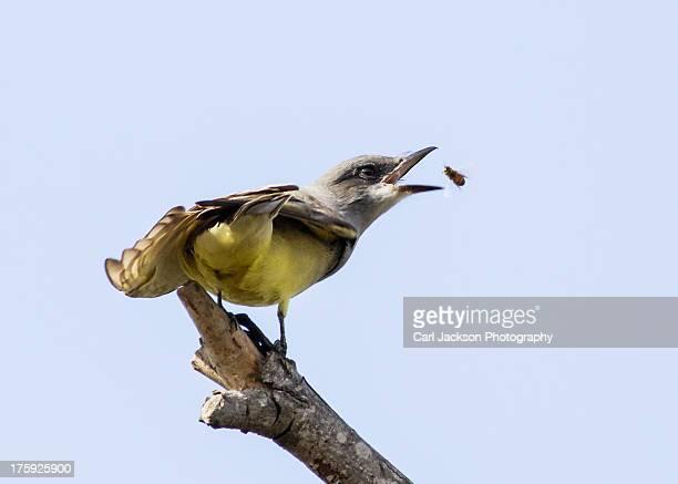 Western Kingbird feeding on bee