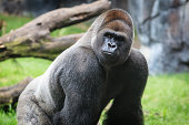 """An alpha male Western Lowland Gorilla, also called a Silver back, is one of the great apes and ranges throughout Central Africa.  They are a highly endangered species, along with all other types of g"