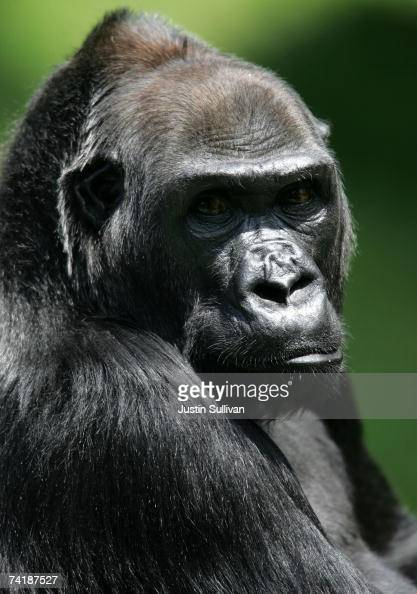 Western lowland gorilla an endangered animal species is seen in an