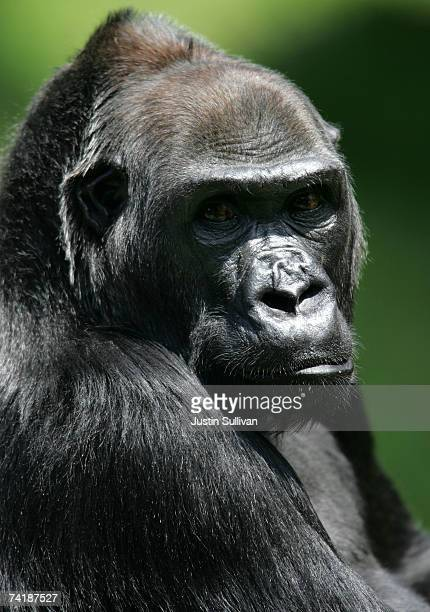 Western Lowland Gorilla an endangered animal species is seen in an exhibit at the San Francisco Zoo May 18 2007 in San Francisco California The US...
