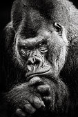 A Frontal Portrait of a Western Lowland Gorilla