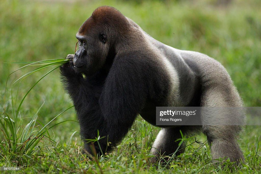 Western lowland gorilla dominant male silverback 'Makumba' feeding on sedge grasses in a bai