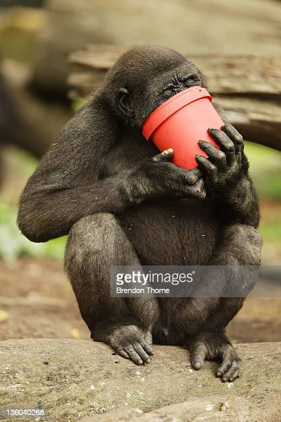 Western lowland Gorilla eats popcorn from a bucket at Taronga Zoo on December 21 2011 in Sydney Australia Animals received Christmas themed...