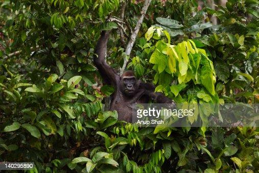 Western lowland gorilla female in a tree : Stock Photo
