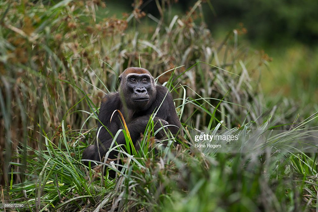 Western lowland gorilla female 'Malui' feeding on sedge grasses in a bai