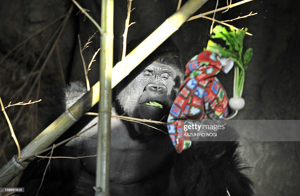 A Western Lowland gorilla holds a pouch packed with a special feed for the gorillas at Tokyo's Ueno Zoo on December 24, 2012. The event was as part of an annual 'Christmas presents' attraction.