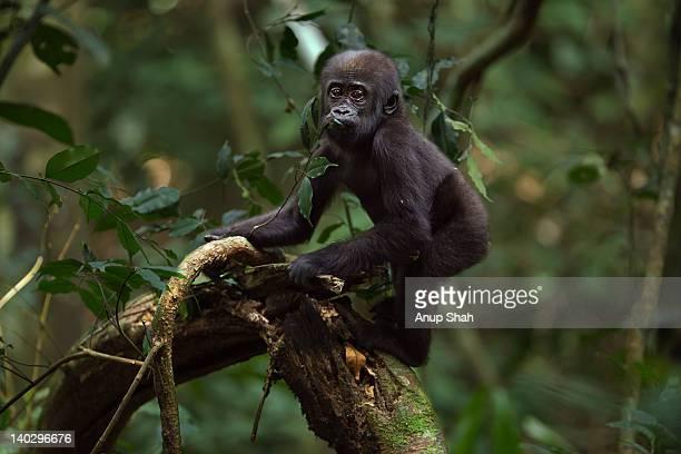Western lowland gorilla infant 'Sopo'