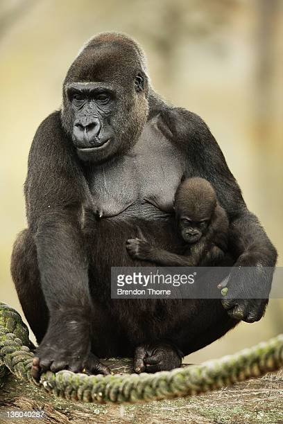 Western lowland Gorilla is seen with her daughter Kipenzi at Taronga Zoo on December 21 2011 in Sydney Australia Animals received Christmas themed...