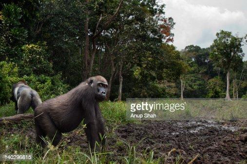 Western lowland gorilla juvenile female in a bai