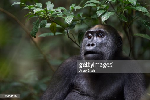 Western lowland gorilla juvenile female portrait : Stock Photo