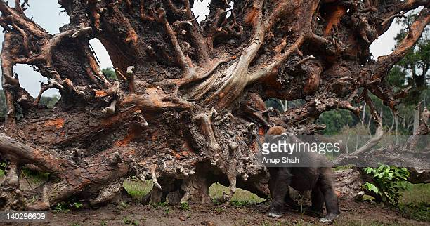 Western lowland gorilla juvenile male by tree root