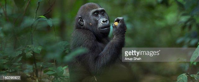 Western lowland gorilla juvenile male feeding
