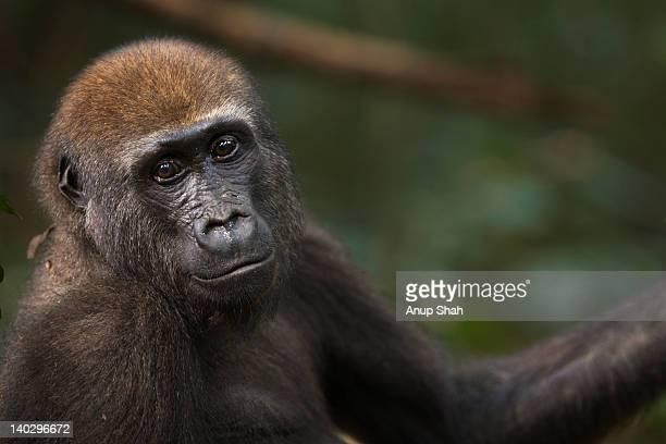 Western lowland gorilla juvenile male portrait
