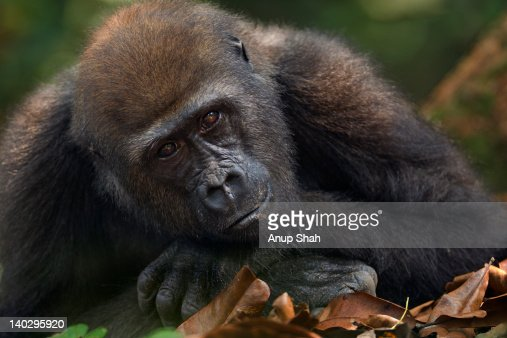 Western lowland gorilla juvenile male resting