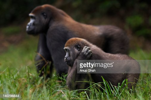 Western lowland gorilla juvenile & sub-adult males