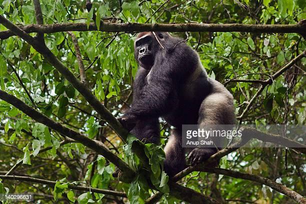 Western lowland gorilla male silverback in a tree