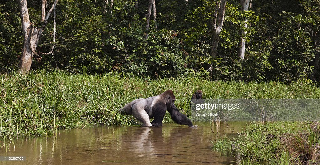 Western lowland gorilla male silverback in river