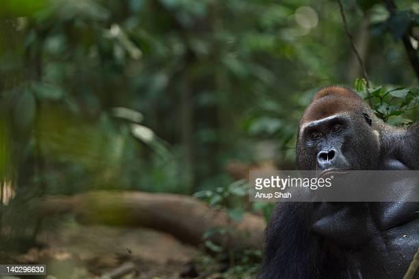 Western lowland gorilla male silverback 'Makumba'