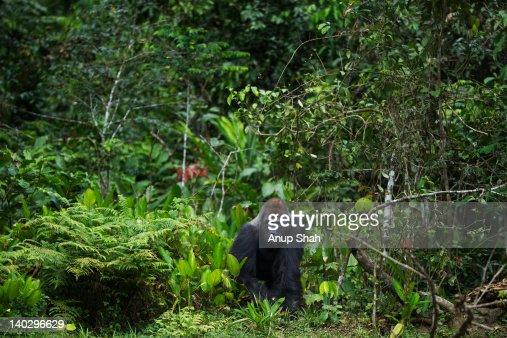 Western lowland gorilla male silverback