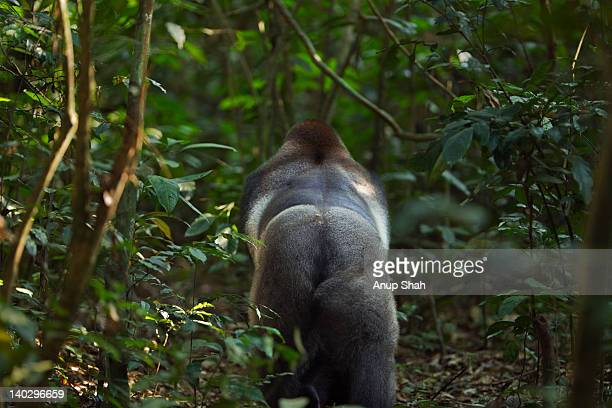 Western lowland gorilla male silverback rear view