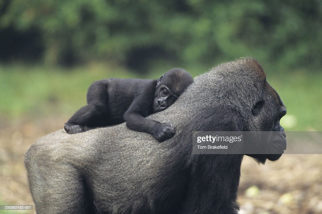 Western lowland gorilla (Gorilla gorilla gorilla) mother with baby