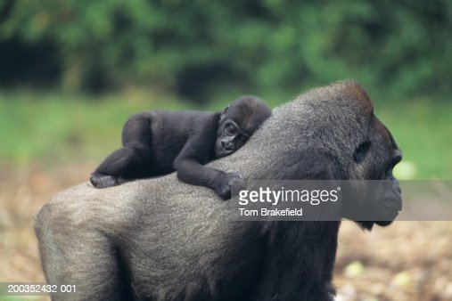 Western lowland gorilla (Gorilla gorilla gorilla) mother with baby : Stock Photo