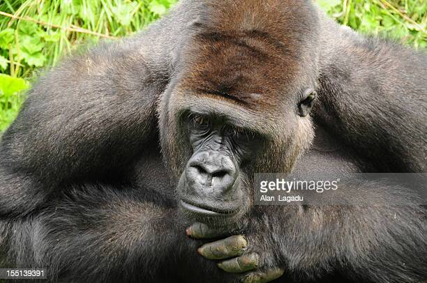 Western Lowland Gorilla.