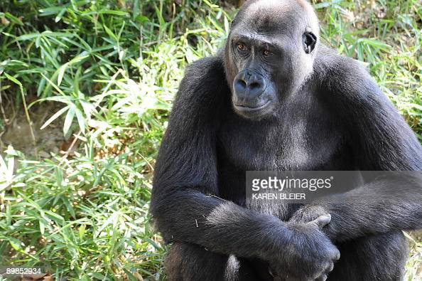 A Western Lowland Gorilla sits in its habitat at the Smithsonian's National Zoo in Washington on August 18 2009 AFP PHOTO/Karen BLEIER