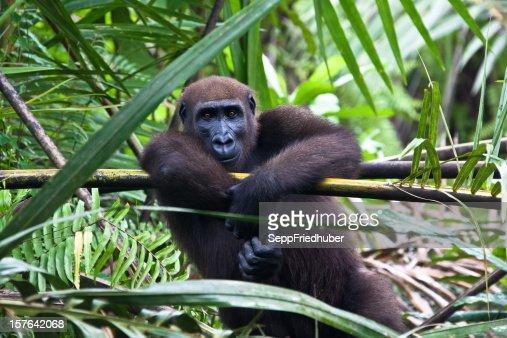 Western lowland gorilla sitting in a palmtree