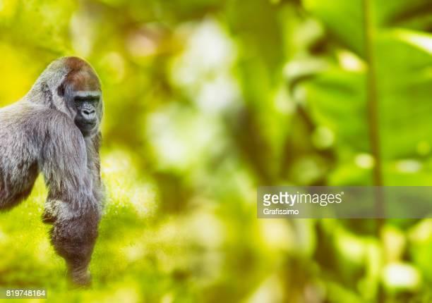 Flachlandgorilla stehend und Blick in die Kamera im Regenwald