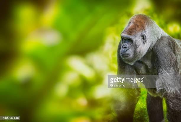 Flachlandgorilla stehen und auf der Suche im Regenwald