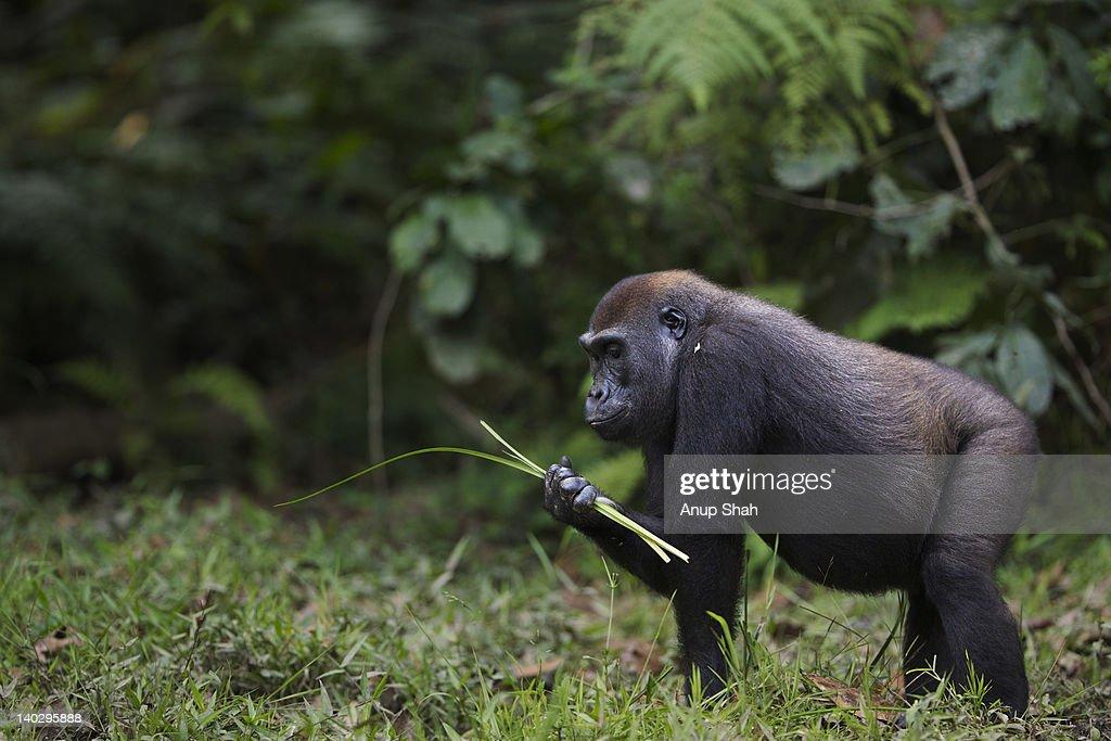 Western lowland gorilla sub-adult female feeding : Stock Photo