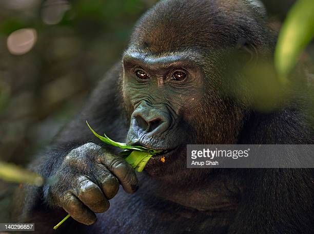 Western lowland gorilla sub-adult female feeding