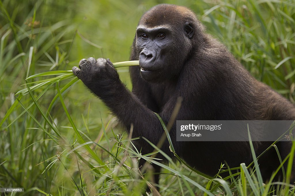 Western lowland gorilla sub-adult female feeding