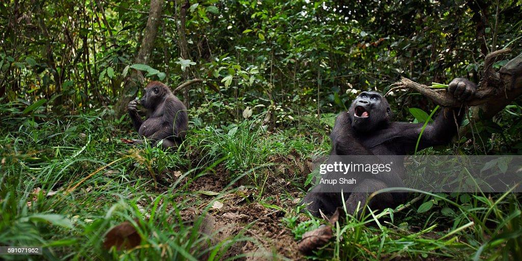 Western lowland gorilla sub-adult female 'Mosoko' feeding on sedge grasses