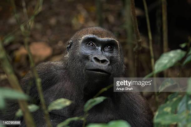 Western lowland gorilla sub-adult female portrait