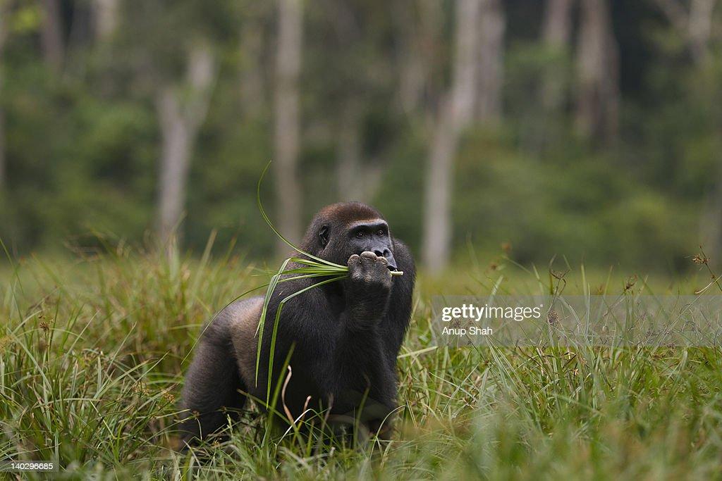 Western lowland gorilla sub-adult male feeding