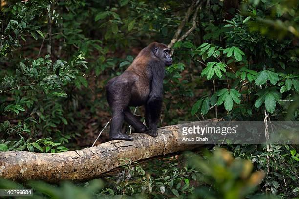 Western lowland gorilla sub-adult male