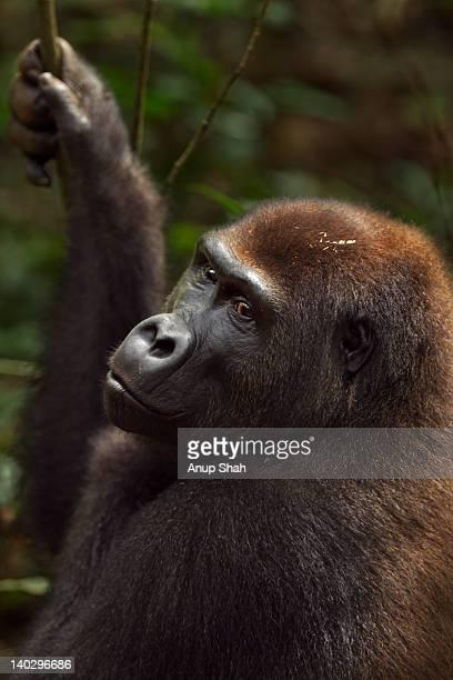 Western lowland gorilla sub-adult male portrait