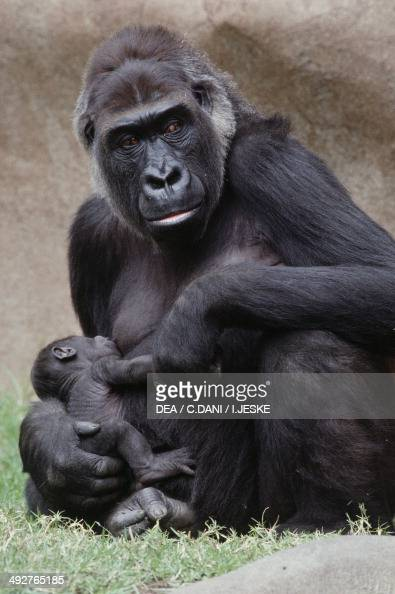 Western Lowland Gorilla with young Hominidae