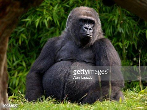 Western Lowland Gorilla,Jersey.