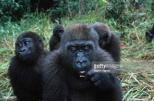 Western Lowland Gorillas. Gorilla gorilla gorilla. Orphaned gorillas reintroduced into the wild. Endangered species. Projet Protection des Gorilles, Gabon/Congo West-Central Africa: Nigeria to DRC. AF_GOR_W_142
